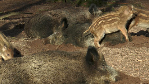 wild piglets playing and fighting Stock Video Footage