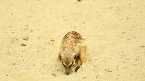 Playful meerkats Stock Video Footage