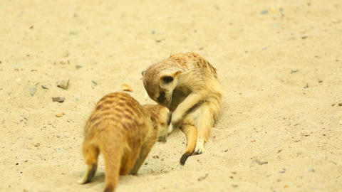 Playful meerkats Stock Video Footage
