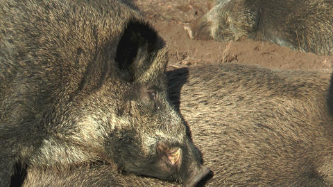 male wild boar (sus scrofa) chewing closeup Stock Video Footage