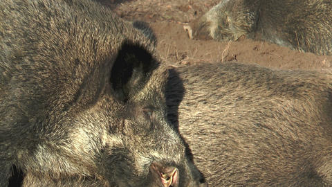 male wild boar (sus scrofa) chewing closeup Footage