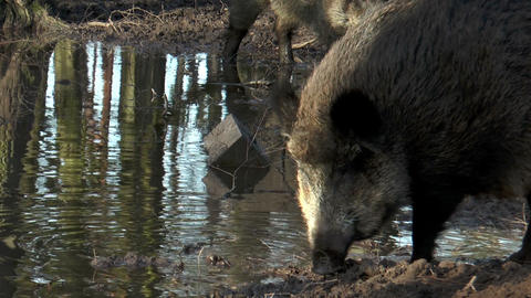 wild boar (sus scrofa) drinking and digging at pon Stock Video Footage