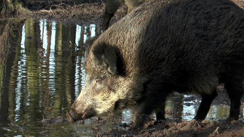 wild boar (sus scrofa) drinking and digging at pon Footage