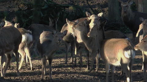 herd of sika deers closeup Stock Video Footage