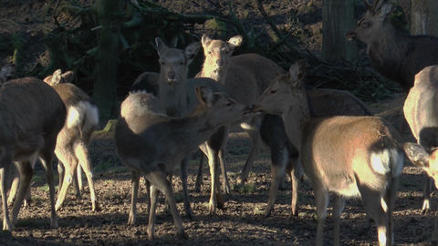 herd of sika deers closeup Footage