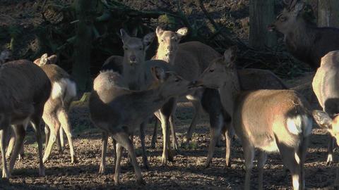 herd of sika deers closeup Footage