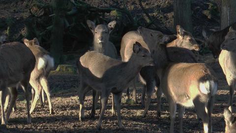 herd of sika deers closeup Stock Video Footage