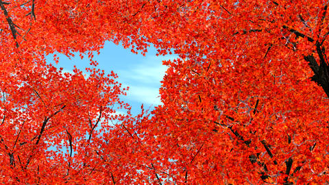 maple trees shaking in wind Stock Video Footage