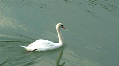 ntsc swan go away Stock Video Footage