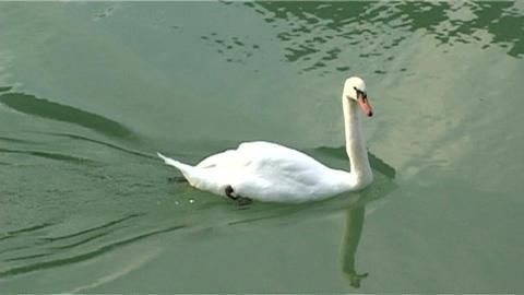 ntsc swan Stock Video Footage