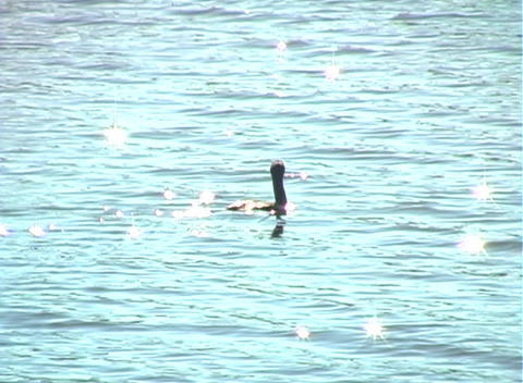 Anhinga Glides on a Lake (1a) Footage