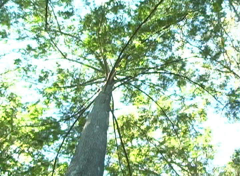 Bald Cypress Tree, Low-angle Rotating View (1a) Stock Video Footage