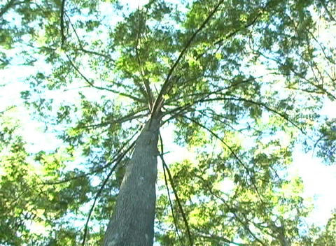 Bald Cypress Tree, Low-angle Rotating View (1a) Footage