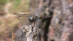 Dragonfly on a stick 2 Stock Video Footage