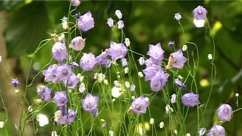 ntsc flowers closeup 2 Stock Video Footage
