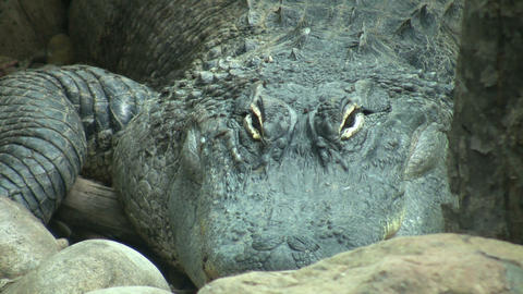 American alligator lazily rests amidst some rocks (High... Stock Video Footage