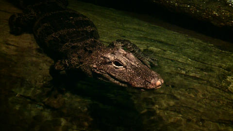 Baby alligator wades in a pool near log Stock Video Footage
