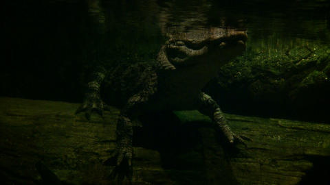 Underwater shot of a young alligator floating in the water Footage