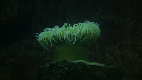 Giant Green Anemone gently sways in the water Stock Video Footage