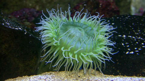Giant Green Anemone gently sways in the water Footage