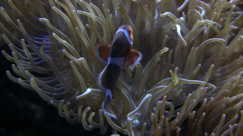 Some Anemone is attracting a Clownfish Stock Video Footage