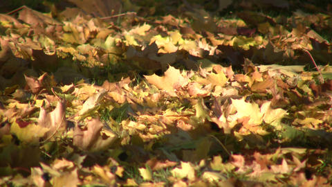 Autumn leaves rest on ground in the sunlight (High Definition) Footage