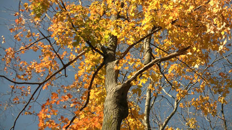 Autumn leaves gently sway in the sunlight (High Definition) Stock Video Footage