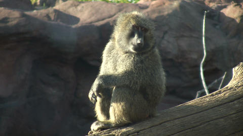 Olive Baboon sits on log, soaking up sunlight (High... Stock Video Footage