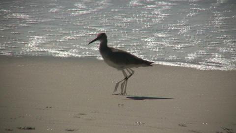 Black-necked Stilt casually walks on sunny beach (High Definition) Footage