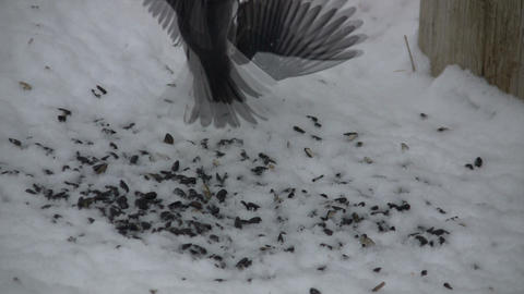 Birds are viciously fighting over the seed territory (High Definition) Footage