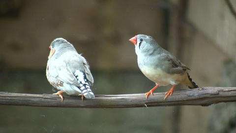 Excited Zebra Finch birds are perched on branch (High Definition) Live Action