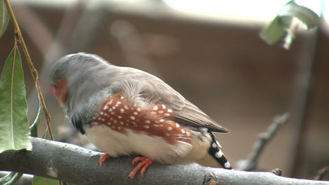 Zebra Finch is casually perched on a branch (High... Stock Video Footage