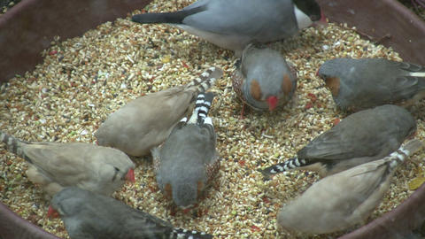 Hungry Zebra Finches are feeding on seeds (High Definition) Stock Video Footage