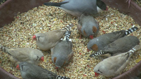 Hungry Zebra Finches are feeding on seeds (High Definition) Footage