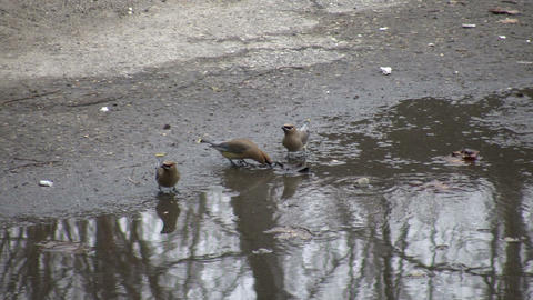 Cedar Waxwing birds are drinking from puddle (High... Stock Video Footage