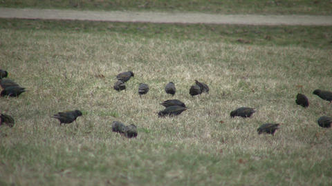Birds are busily looking for food in field (High Definition) Stock Video Footage