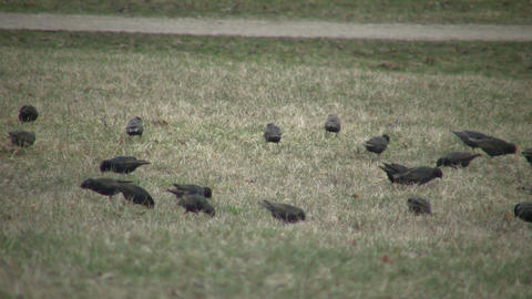 Birds are busily looking for food in field (High Definition) Footage