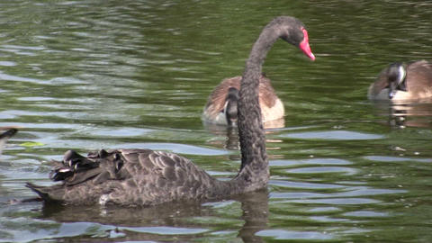Australian black swan swims amongst geese and ducks (High Definition) Footage