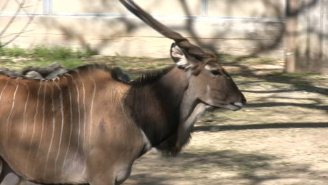 Blue Duiker is casually walking around Stock Video Footage