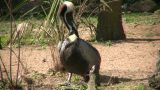 Brown Pelican Is Busy Grooming Itself On A Sunny Day stock footage