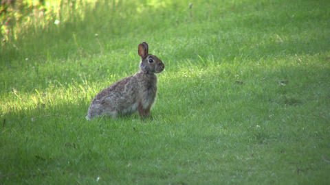 Wild rabbit sits in field, ready to run (High Definition) Stock Video Footage