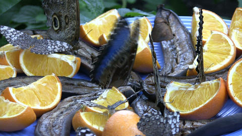 Butterflies are sitting on a plate eating fruit (High... Stock Video Footage