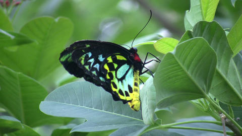 Butterfly resting on a leaf (High Definition) Live Action