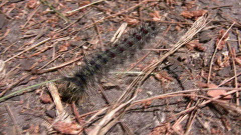 Hairy caterpillar continously inches along towards the... Stock Video Footage