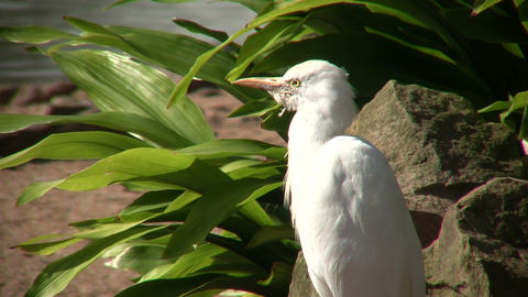 Cattle Egret bird is relaxing on a sunny day Footage