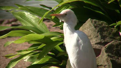 Cattle Egret bird is relaxing on a sunny day Stock Video Footage