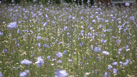 Chicory wildflowers gently sway in the wind (High... Stock Video Footage