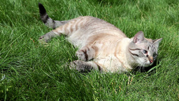 Cat Resting On Grass Footage