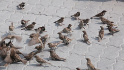 Sparrows Fighting Over Crumbs Of Bread stock footage