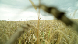 Camera Moving Across The Wheat Field Spreading Under The Moody Sky Footage
